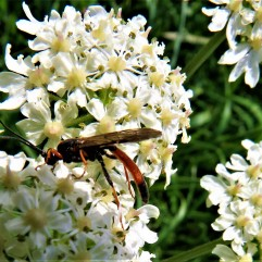 Ichneumon fly on hogweed by SMH