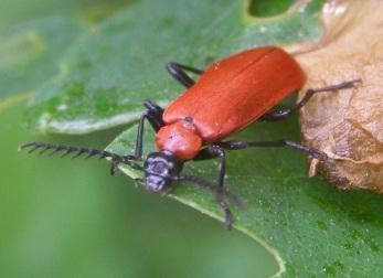 black headed cardinal beetle (Pyrochroa coccinea)
