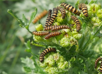 Cinnabar moth caterpillars