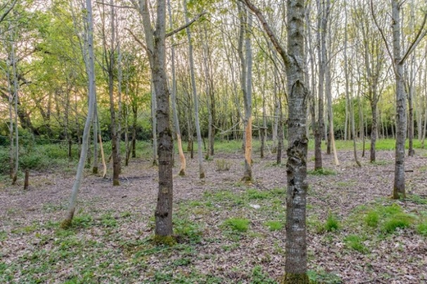 ...four trees ring-barked in the copse... DKG