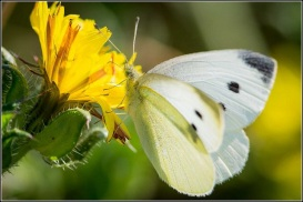 Large white (Smudge 9000; Flickr)