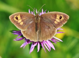 Meadow brown (CC0)