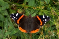 Red admiral (HaarFager @ English Wikipedia)