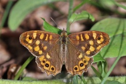 Speckled wood by Sharp Photography (CC)
