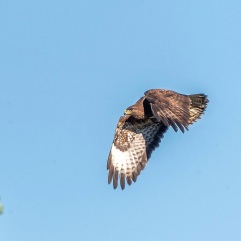 Buzzard in the arboretum 26th June 2018