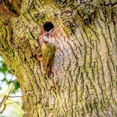 Green woodpecker in 2016