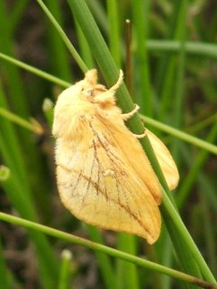 a drinker moth female, larger and paler in colour than the male