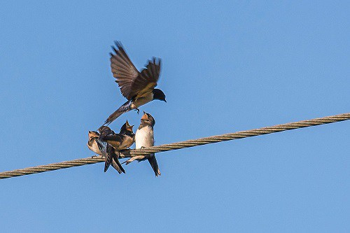 Swallow (feeding time); taken last year