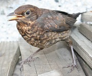 Juvenile Blackbird / Anne Burgess / CC BY-SA 2.0