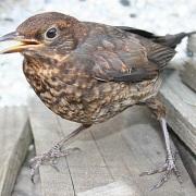 Juvenile Blackbird / Anne Burgess / CC BY-SA 2.0