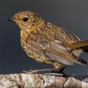 Juvenile robin by andymorffew/CC
