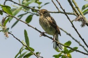 Juvenile reed bunting by Keith Gallie/Wikimedia Commons