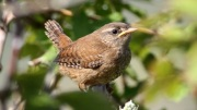 Juvenile wren by Ken Billington; Wikimedia Commons