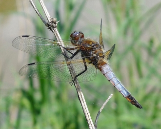 Male scarce chaser (by Gail Hampshire: Wikimedia Commons)