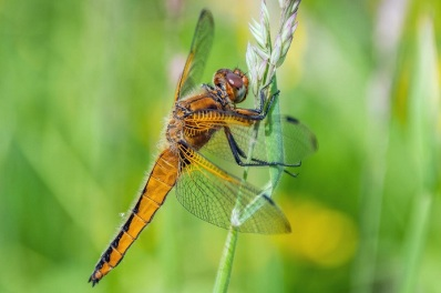 Female Scarce chaser, seen and photographed in Southwick Country Park by DKG.