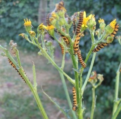 ragwort feeding cinnabar moth caterpillars (E Gammie CC)