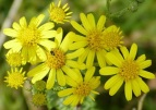 ragwort close up ( Rob Farrow CC)