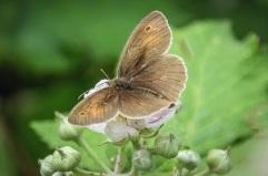 butterfly - meadow brown DKG