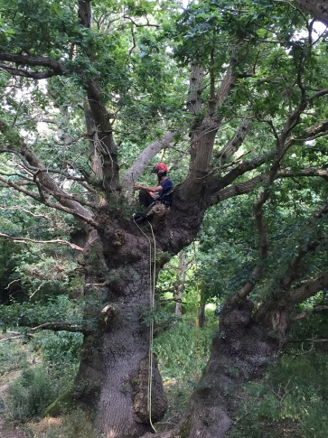 ..surveying the old oaks for evidence of bats..