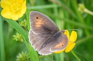 butterfly - meadow brown by DKG