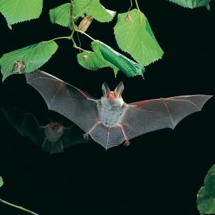 Bechstein's bat by Dietmar Nill (CC2.5)