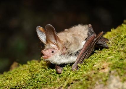 Bechstein's bat by Jan Svetlik (CC2.0)