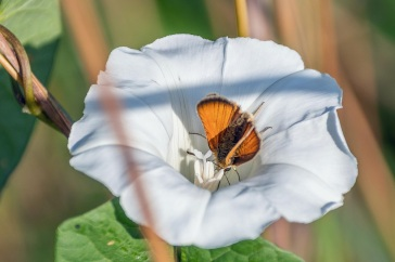 Small skipper and greater bindweed