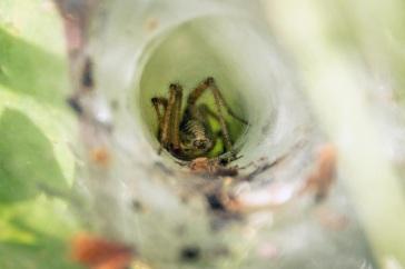 Segestria senocata – Snake-Back Spider.