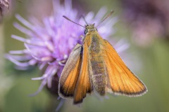 Small skipper on creeping thistle