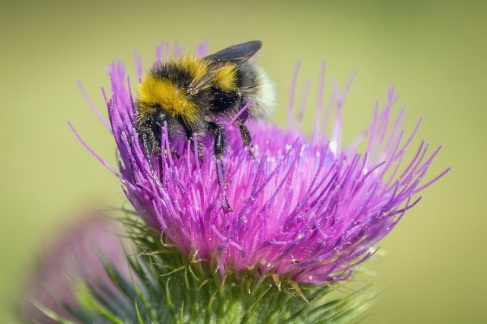 Garden bumblebee on spear plume thistle
