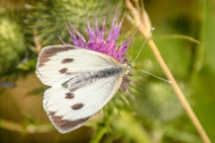 Large white butterfly on spear plume thistle