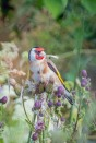 goldfinch by DKG