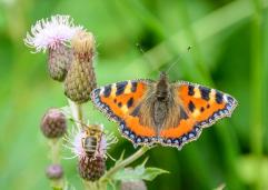 Small Tortoiseshell and a honey bee