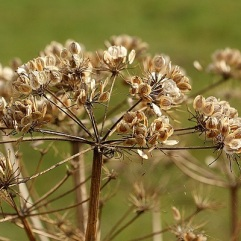 Hogweed seed CC0