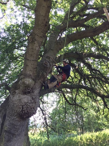 Tree surgeons in an oak