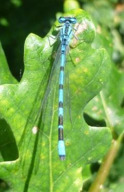 Common blue damselfly by Ian Bushell