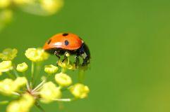 Seven spot ladybird - Vera Buhl CC