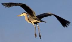 Heron /Tony Hisgett CC