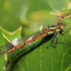 Large red damselfly :Charles J Sharp [Creative Commons]C