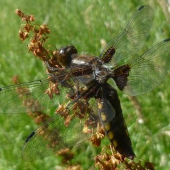 Broad-bodied chaser female (Odonata) by Ian Bushell
