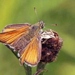 Small skipper (Lepidoptera) :Charles J Sharp [Creative Commons]