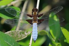 Broad-bodied chaser male :Charles J Sharp CC