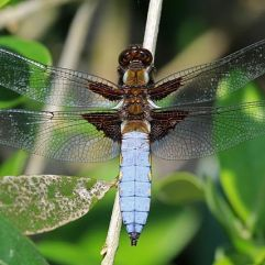 Broad-bodied chaser male (Odonata) :Charles J Sharp [Creative Commons]