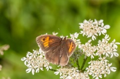 Meadow brown on hogweed by DKG