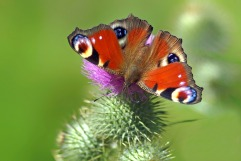 peacock butterfly (CC0)