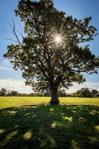 Lone Oak by DKG