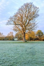 lone oak on a frosty morning