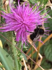 male red tailed bumblebee by Neave Duggan