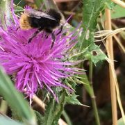 ...feeding on creeping thistle..