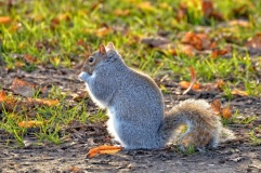 Grey squirrel by Simone Zuchelli (CC2.0)
